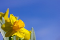 easter-lilies-1272856_1280